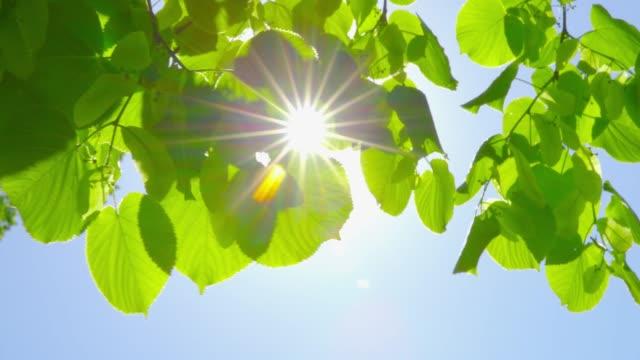 springtime impressions - beautiful backlit leaves on a sunny day - podświetlony filmów i materiałów b-roll