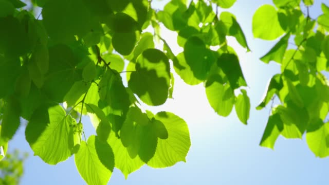 springtime impressions - beautiful backlit leaves on a sunny day - summer background стоковые видео и кадры b-roll
