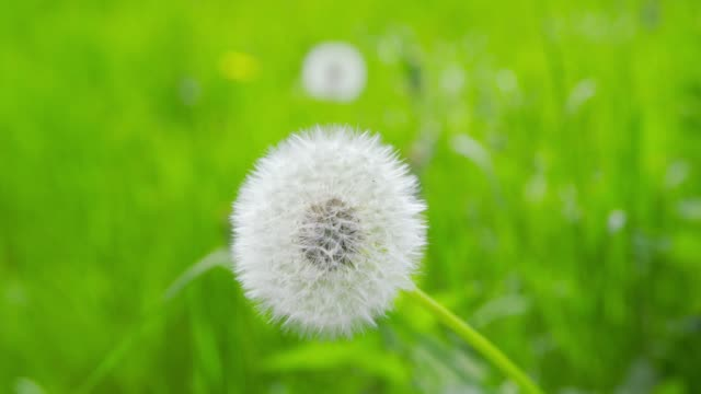 Springtime impressions - beautiful blowball - close-up