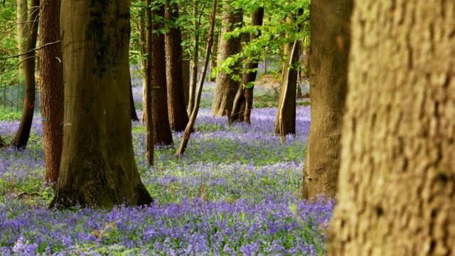 vårtid landskap: bluebells blommar i en ek trä, dolly sköt i belgien - vild blomma bildbanksvideor och videomaterial från bakom kulisserna