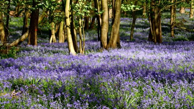 Springtime scenery : bluebells bloom in an oak tree wood, dolly shot in Belgium video