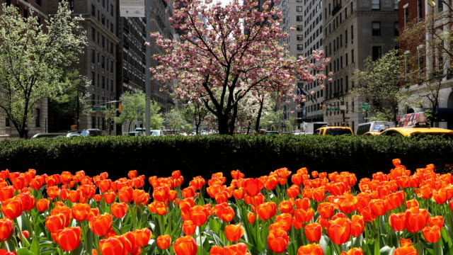 Springtime Tulips in NYC