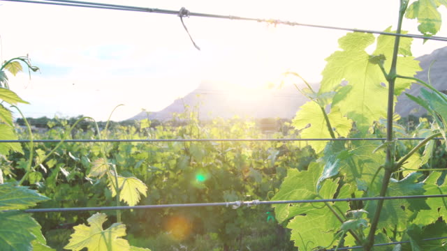 Springtime Vineyard at Sunset video