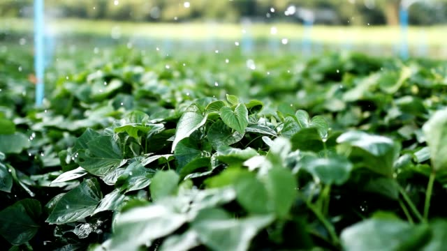 sprinkler wasser und gemüse bauernhof - bewässerungsanlage stock-videos und b-roll-filmmaterial