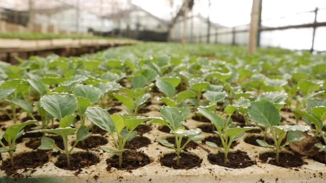 sprouted young cabbage seedlings in a greenhouse. farm theme. seedlings of vegetable crops on an industrial scale - капустные стоковые видео и кадры b-roll