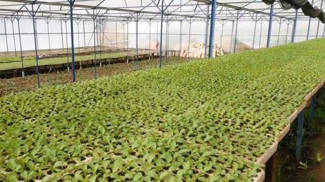vidéos et rushes de les jeunes plants de choux germés dans une serre. thème de la ferme. semis de cultures maraîchères à l'échelle industrielle - angiosperme
