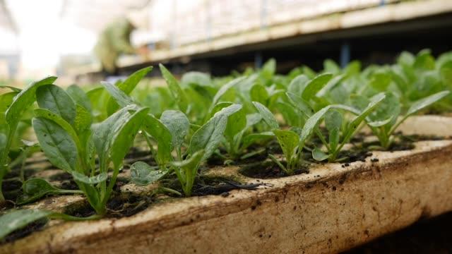 vidéos et rushes de jeunes plantules d'épinards germées dans une serre. thème de la ferme. semis de cultures maraîchères à l'échelle industrielle - angiosperme