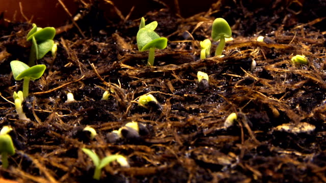 sprouting shoots video