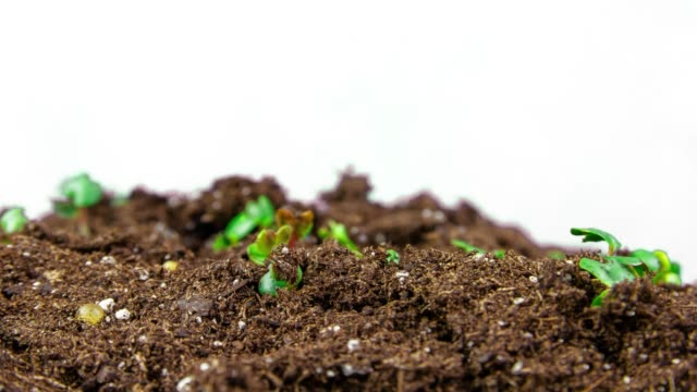 sprouts growing in fertile soil - erba medica video stock e b–roll