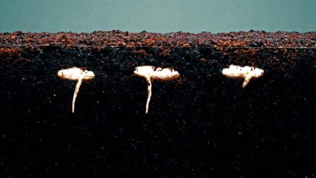 vídeos de stock, filmes e b-roll de brotos com hastes longas crescem em timelapse de solo fértil - semente
