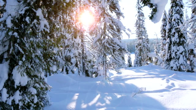 Spruce Bent under the Weight of Snow video