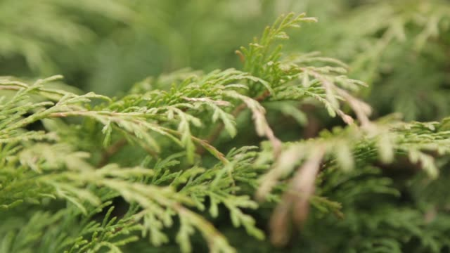 Spruce branches swinging in the wind. Natural background of green needles.