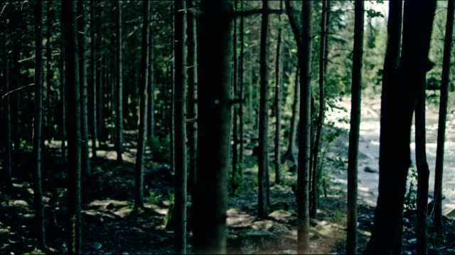 Spruce forest in mountains video