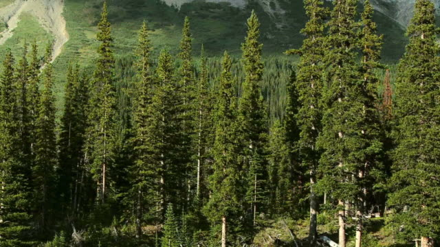 HD: Spruce Forest video