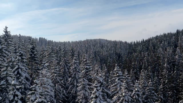 AERIAL: Spruce treetops on hillslope covered with white snow on sunny winter day video