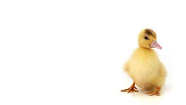 Squeaking Duckling on white background