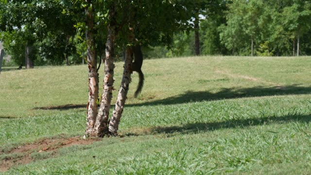 Squirrel climbing up a tree Gray squirrel climbing up a tree, then darting back down behind the tree animal whisker stock videos & royalty-free footage