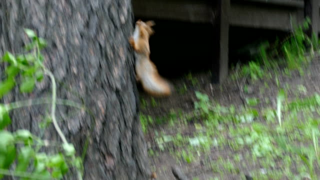 Squirrel descends from a tree in the forest