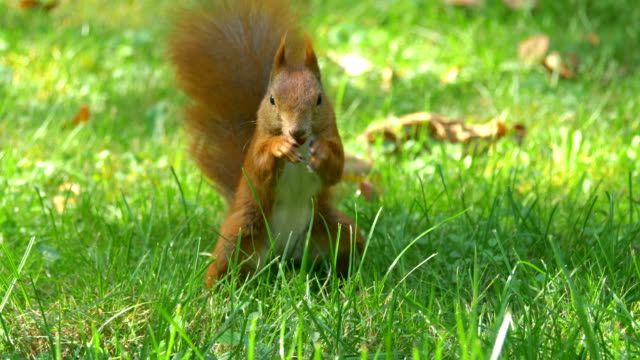 Squirrel eating a nut in 4k slow motion 60fps video