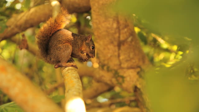 Squirrel eating a nut. In a sunny forest, a squirrel eats a nut on a branch of a tree. 笹 stock videos & royalty-free footage
