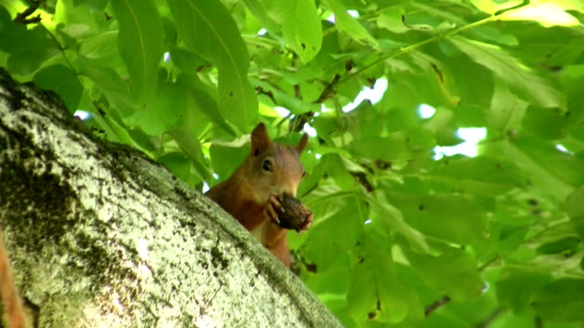Squirrel eating a nut video