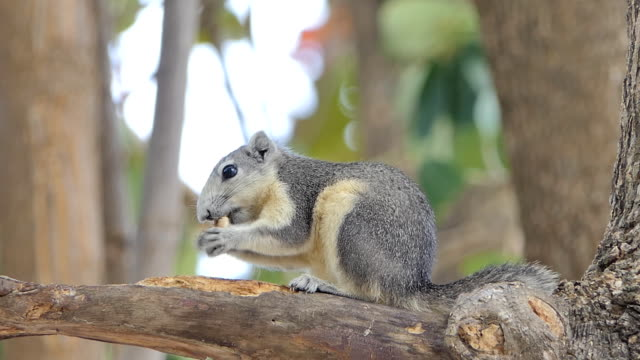 Squirrel eating food on tree in tropical rain forest. video