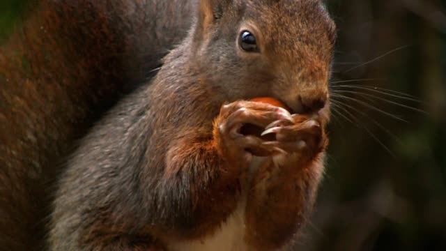 Squirrel eating hazelnut video