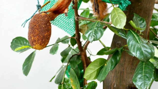 eichhörnchen essen jackfrüchte auf baum - netzgewebe stock-videos und b-roll-filmmaterial