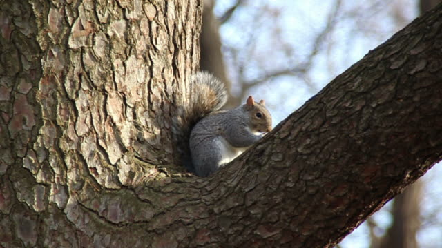 Squirrel eating nuts Squirrel in Central Park eating nuts and then jumping towards the lower right corner of the image central park manhattan stock videos & royalty-free footage