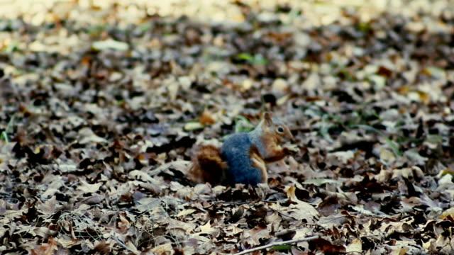 Squirrel - Feeding - Stock Video video