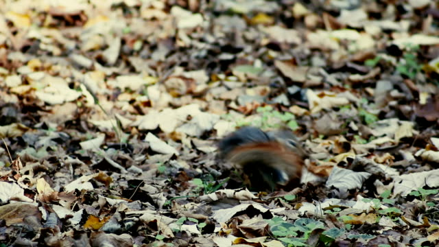 Squirrel - Feeding With Nut - Stock Video video