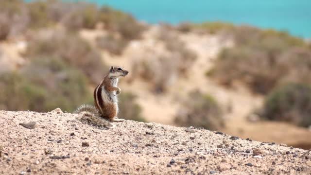 ekorre i naturen i 4k - på tå bildbanksvideor och videomaterial från bakom kulisserna