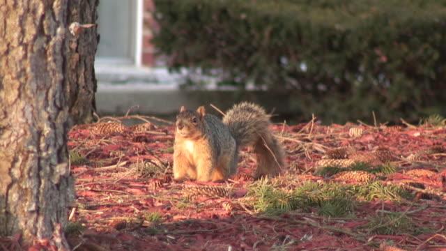 stockvideo's en b-roll-footage met squirrel in red - hd 1080/60i - infaden