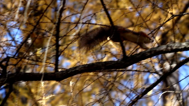 Squirrel in the forest Squirrel is jumping tail stock videos & royalty-free footage