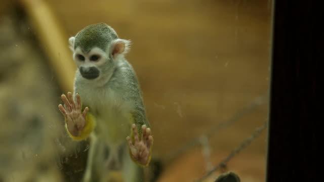 Squirrel Monkey Behing Glass video