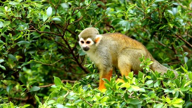 sincap ağaçta tırmanma maymun - kemirgen stok videoları ve detay görüntü çekimi