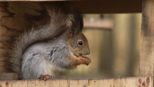 Squirrel nibbles on seeds in the forest