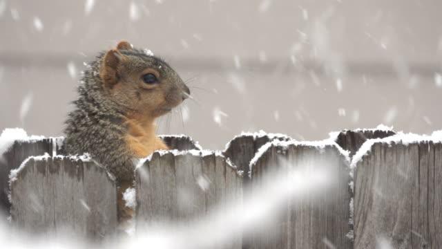 Squirrel on fence Denver snowy winter blizzard Colorado neighborhood