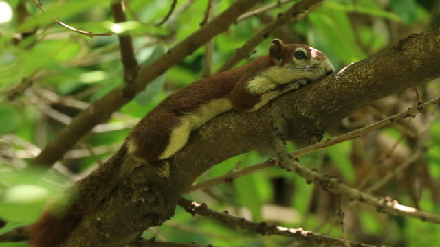 Squirrel rest on tree Close-up squirrel rest on tree animal whisker stock videos & royalty-free footage
