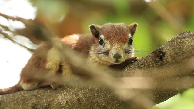 squirrel rest on tree - morrhår bildbanksvideor och videomaterial från bakom kulisserna