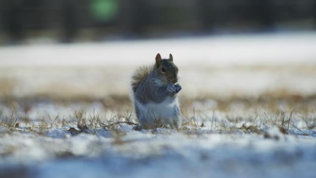 sincap karda yiyecek arıyor - kemirgen stok videoları ve detay görüntü çekimi