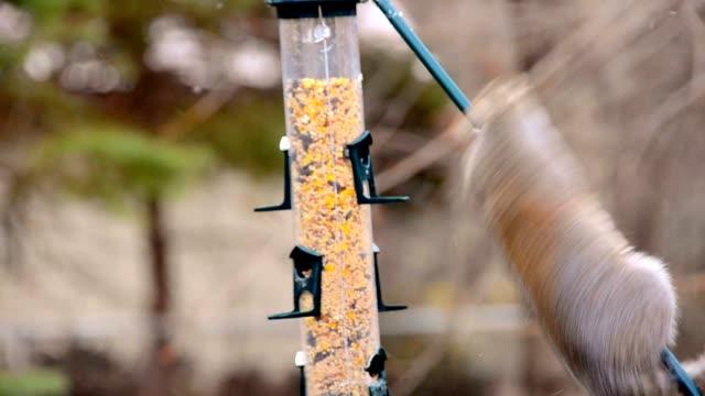 ekorre försöker klättra fet pole - ofullkomlighet bildbanksvideor och videomaterial från bakom kulisserna