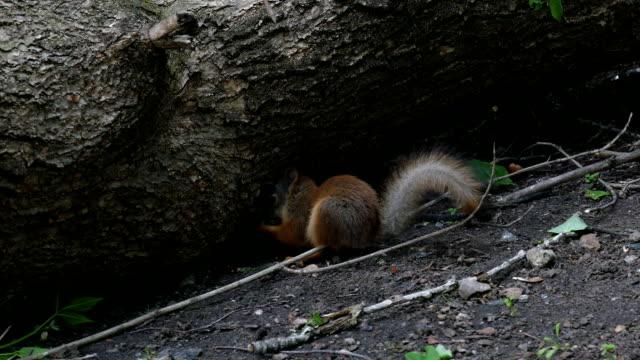 Squirrel under the tree