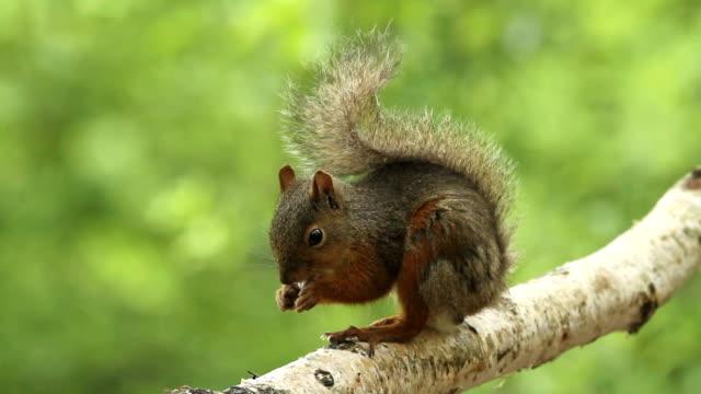 stockvideo's en b-roll-footage met squirrel - oost azië