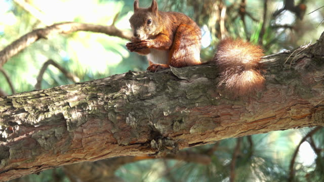 Squirrel Video 4k with tripod: squirrel on tree mammal stock videos & royalty-free footage