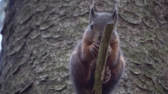 Squirrel,Eurasian red squirrel, forest, nut, eating, searching, stump, 4K video
