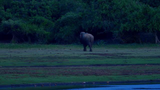 Sri Lankan Elephant roaming around video
