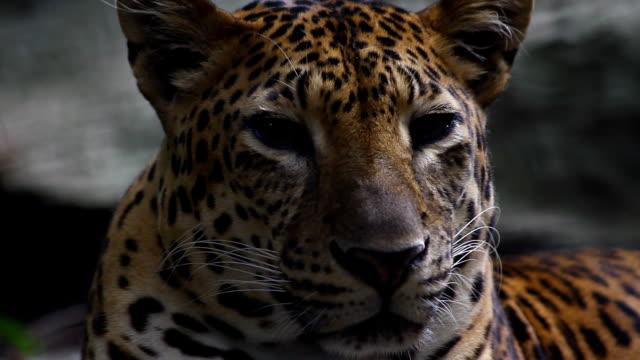 lankesisk leopard, panthera pardus kotiya, big fläckig katt liggande på trädet i naturen livsmiljön, yala nationalpark, sri lanka - leopard bildbanksvideor och videomaterial från bakom kulisserna