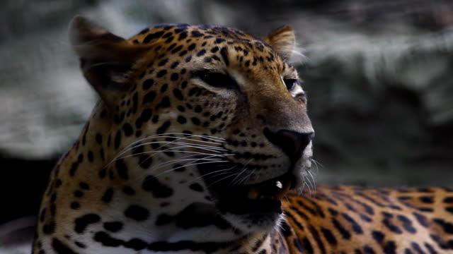 vídeos de stock e filmes b-roll de sri lankan leopard, panthera pardus kotiya, big spotted cat lying on the tree in the nature habitat, yala national park, sri lanka - sri lanka