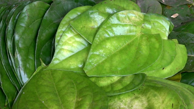 Stack of Betel leaves (Piper Betle) in plate,India